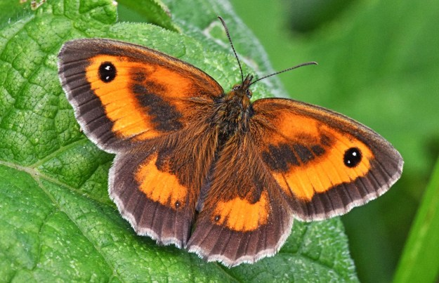 A brown and orange butterfly with black and white eyespots resting on a green leaf
