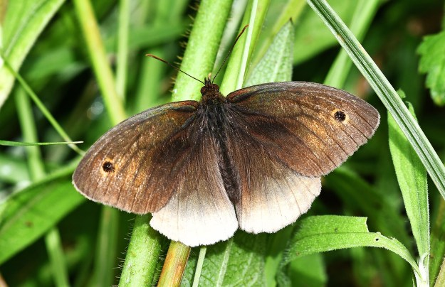 A brown and part white butterfly with black eyespots resting on some green plants
