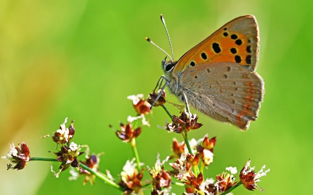 View of an orange and brown butterfly with some black markings resting on white flowers