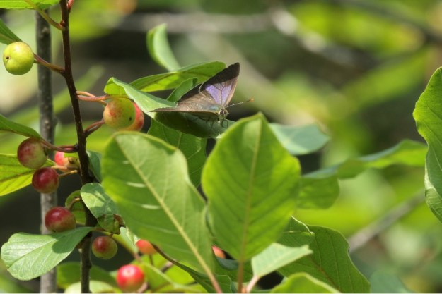 View of a brown and purplish blue butterfly resting on green leaves