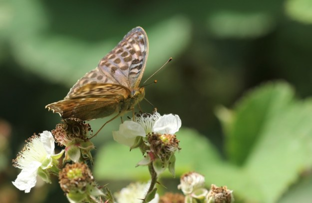 View of a brownish butterfly with black markings nectaring on a white bramble flower
