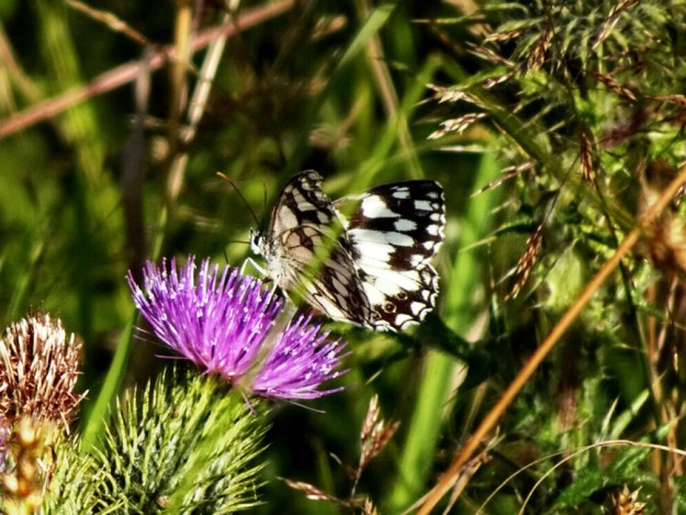 A white butterfly with black markings nectaring on a pink flower