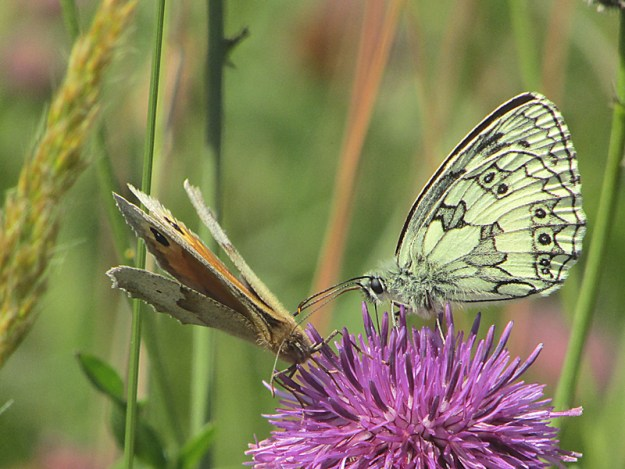 Two butterflies on a pink flower - one white with black markings and the other brown and orange