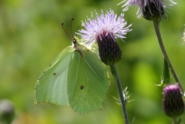 A greenish yellow butterfly with some brown markings nectaring on a pale pink flower