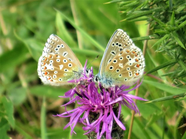 Two brown and blue butterflies withblack and white markings on a pinklish purple flower