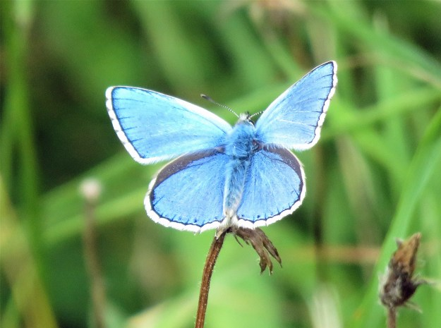 View of a blue butterfly with black and white markings