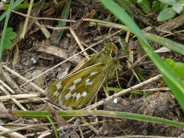 A view of an olive brown butterfly with white markings resting near the ground