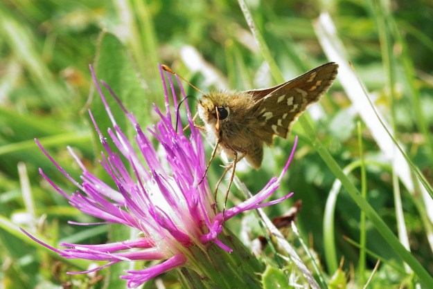 A brown butterfly with white markings nectaring on a pink flower