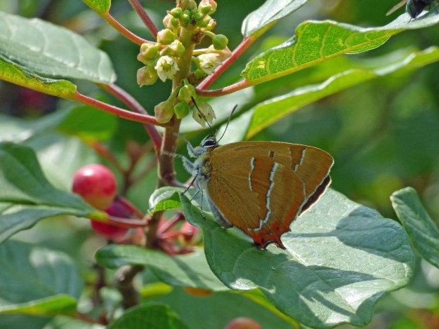 View of a brown butterfly with orange and white markings on a green leaf