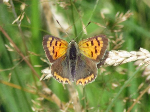 An orange and brown butterfly with black markings on a seed head
