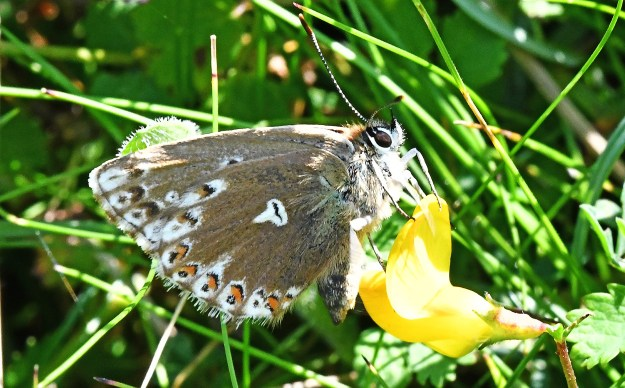 A brown butterfly with orange, black and white markings on a yellow flower
