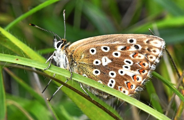 View of a brown butterfly with orange, black and white markings resting on some green vegetation