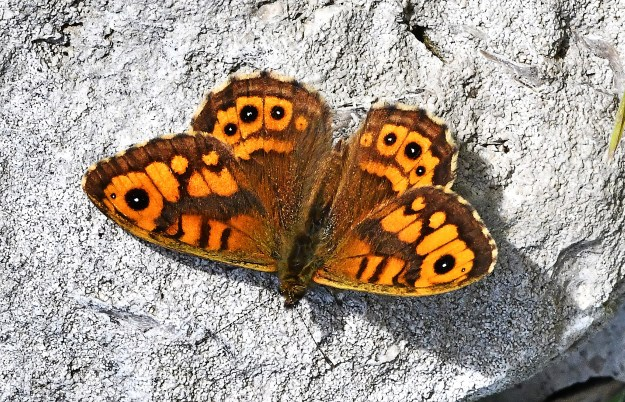 An orange butterfly with brown, black and some white markings resting on a rock