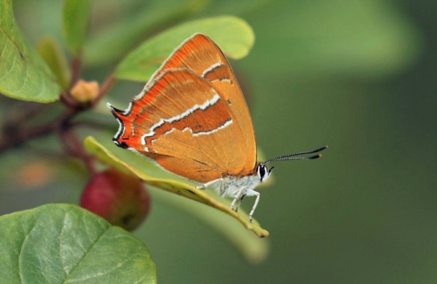 A brown butterfly with orange, white and black markings on a green leaf