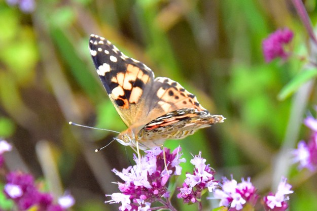 An orange butterfly with black and white markings resting on a pink and white flower