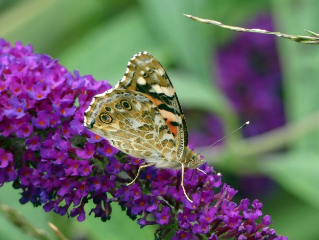 A pale brown and orange butterfly with black and white markings nectaring on a purple Buddleia flower