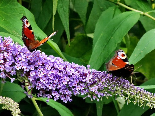 Two red butterflies with black, creamy white and blue markings on a purple Buddleia flower