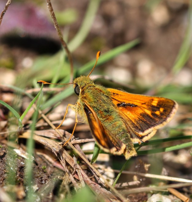 View of an orange and brown butterfly resting in some vegetation