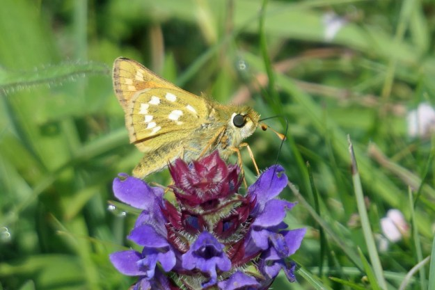 A pale brown butterfly with white markings on a purple flower