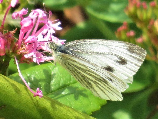 A greenish white butterfly with some black markings nectaring on a pink flower