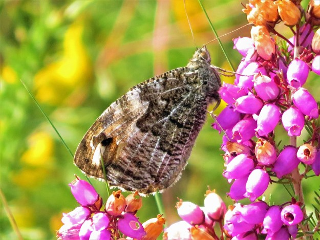 A brown butterfly with some pale markings nectaring on a pink flower
