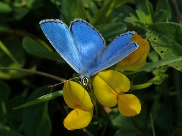 A bright blue butterfly with black and white markings on a yellow flower