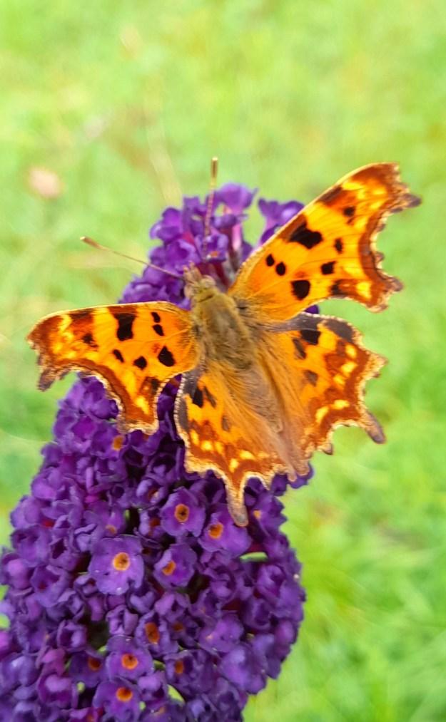 An orange butterfly with black markings resting on a purple Buddleia flower