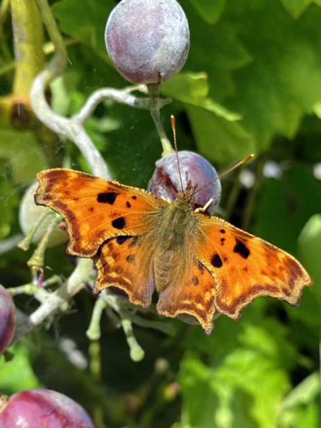 View of an orange butterfly with black markings resting on a purple coloured plum