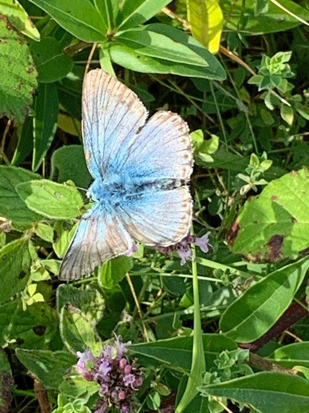 A rather worn and faded blue butterfly with faded black and white markings resting on some green vegetation