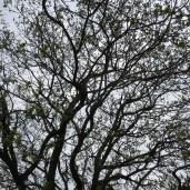 Egetræet