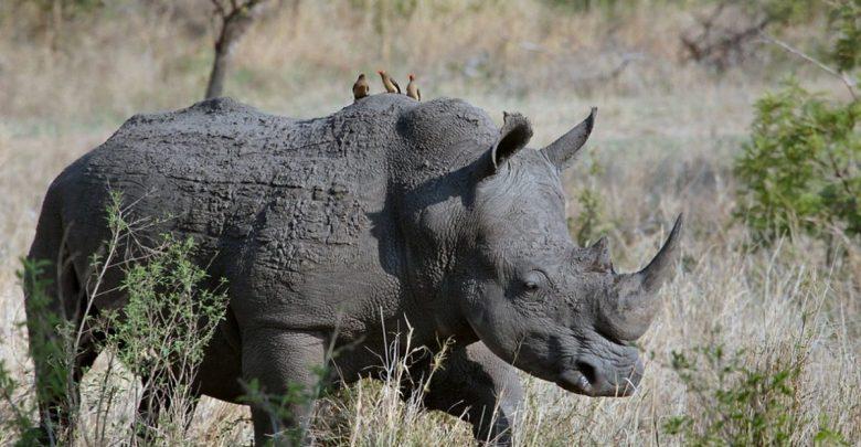 Sumatrski nosorog, Sumatrski nosorogi, Maleziji, Malezija, poginil