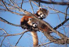 Photo of V nemškem živalskem vrtu so se razveselili mačjega pande