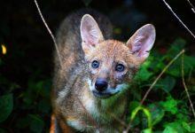 Photo of Šakal po novem ne bo več ogrožena vrsta