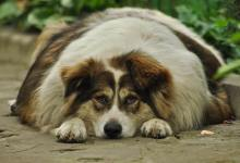 Photo of Prekomerna telesna teža – psi so ogledalo lastnikov