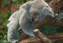 Photo of Požari v Avstraliji ogrožajo celotno vrsto koal