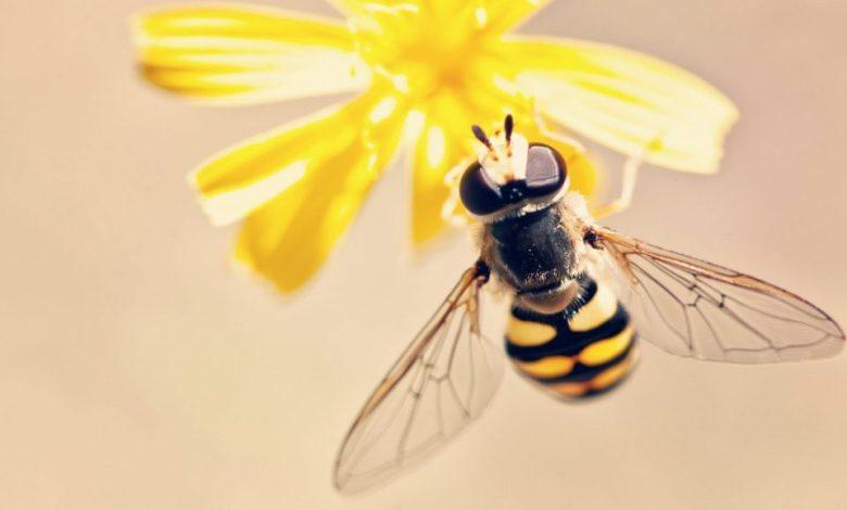 zlata čebela, natečaj