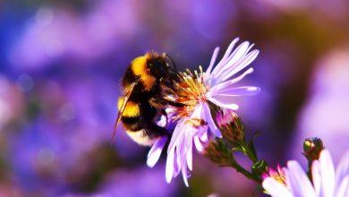 čmrlji, opraševalci, čebele, žuželke, opraševanje, podnebne spremembe, izumiranje čebel, čmrljev
