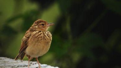 ptic, škrjanec, evropske ptice, izumrtje, izumrtje ptic, nabu, birdlife international, seznam ogroženosti,
