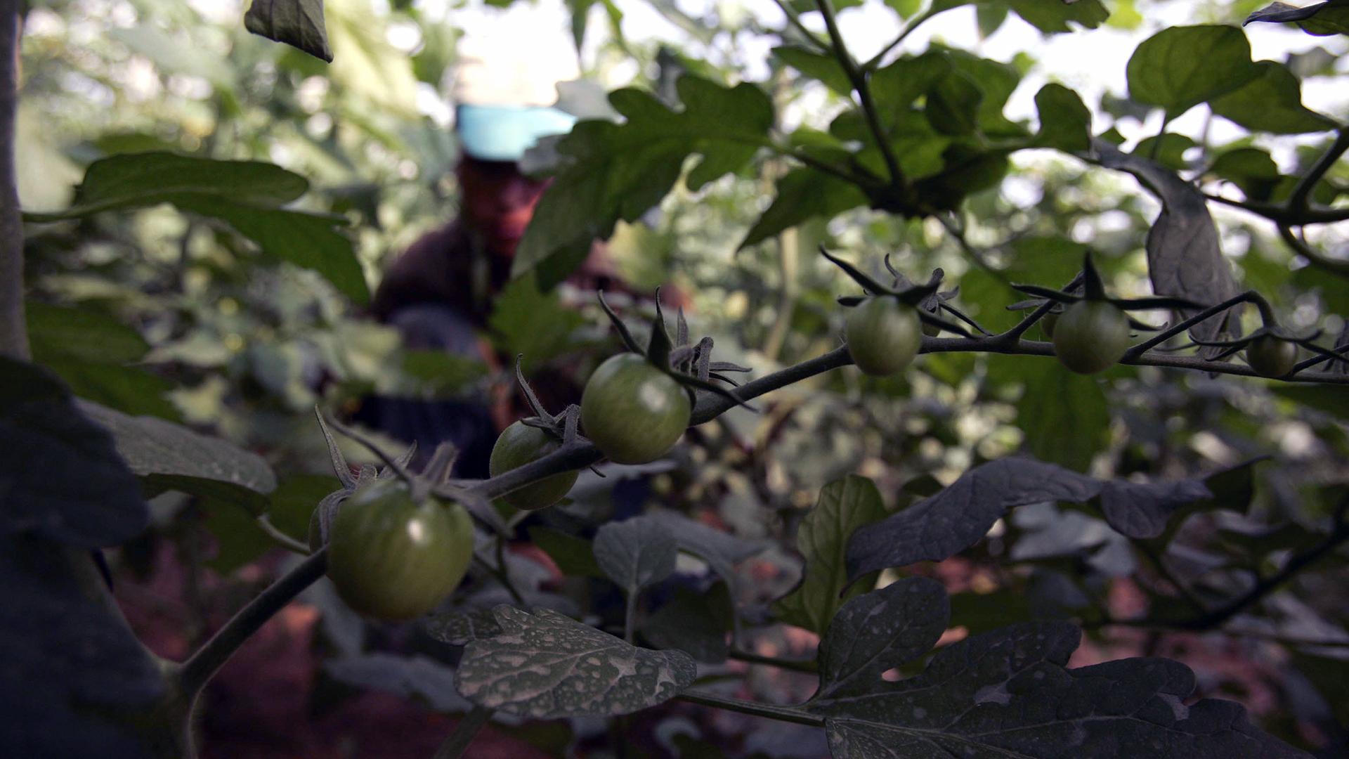 Green tomatoes on plant-159532.jpg25085216
