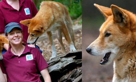 Healesville Sanctuary's Dingo Country Exhibit