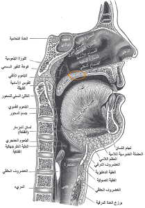 A sagittal section highlighting the velum in orange.