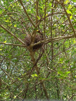 A bird's nest in a tree. It is made of pine straw and small twigs.