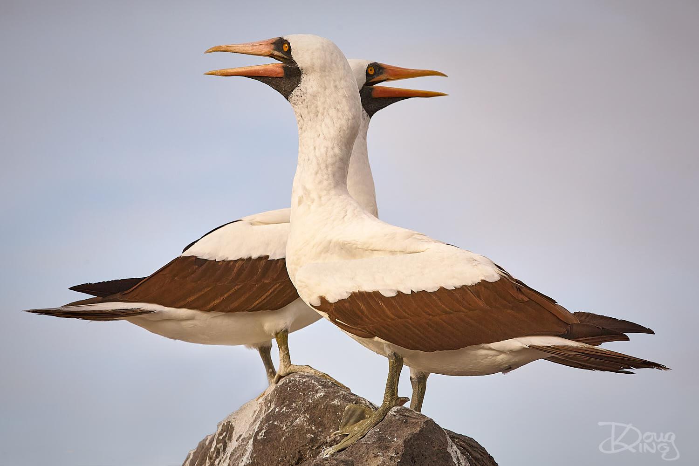A pair of nascar boobies on the Galapagos