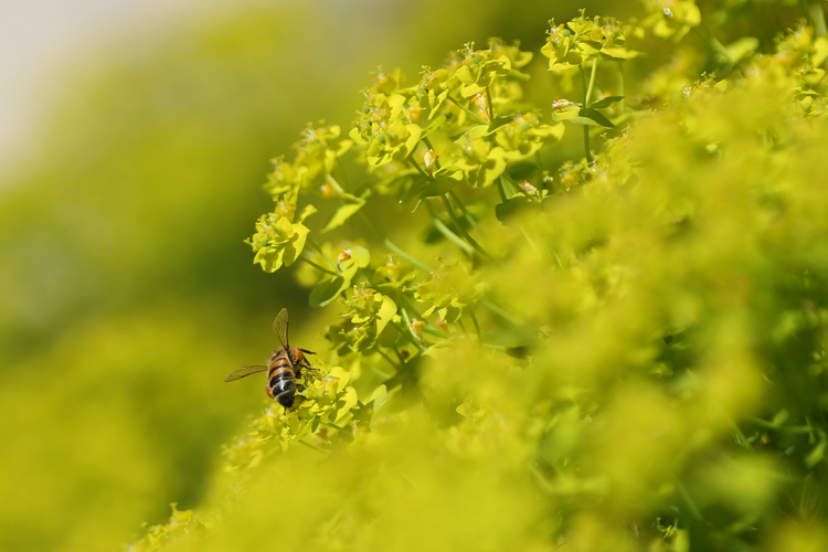 Bee on Euphorbia cyparissias Fens Ruby - IP2A5581
