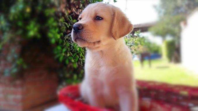 dovet trovare allevamenti di cuccioli di labrador-jpeg