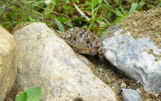 The toad who surprised me during my weeding.