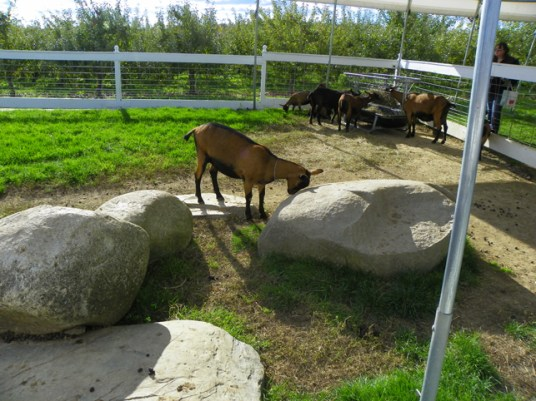 Does this goat think he's going to move that rock?
