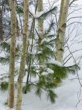 Pine among the birches.