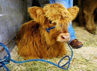 A darling Scottish Highland calf.