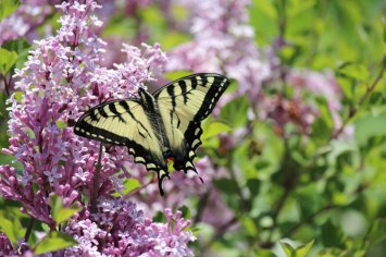 Yellow Butterfly in the Lilacs